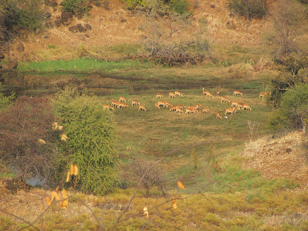 Impala at Zambezi Lodge for sale